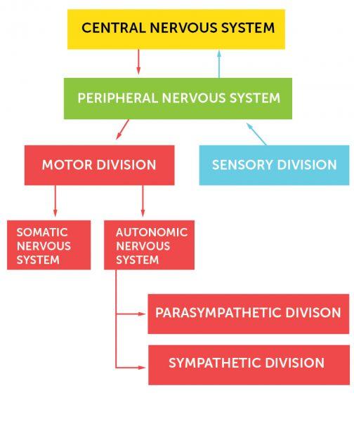 1_Nervesystemets_organisering_Engelsk