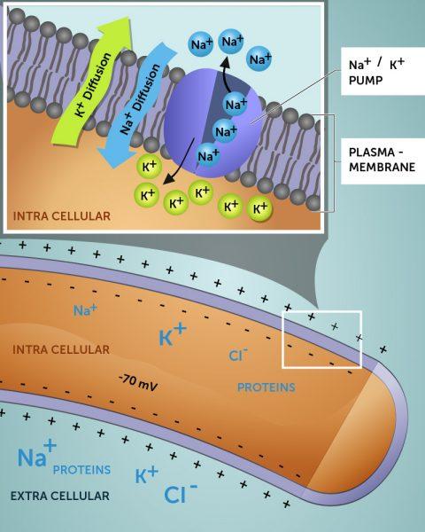 Fig. 5 Membran potential